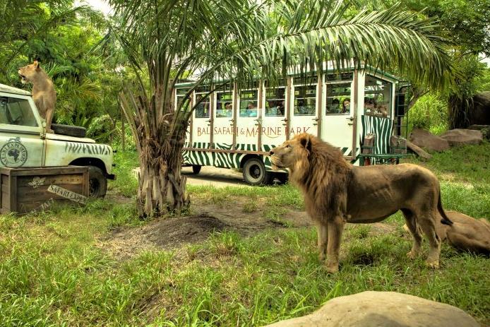 Bali Safari Park- Lion
