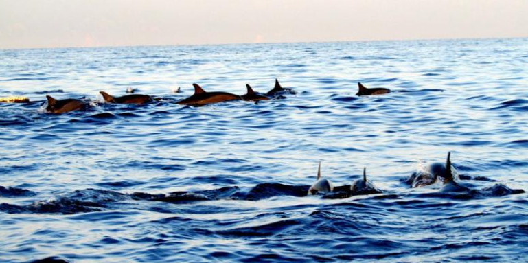 Dolphin in Bali