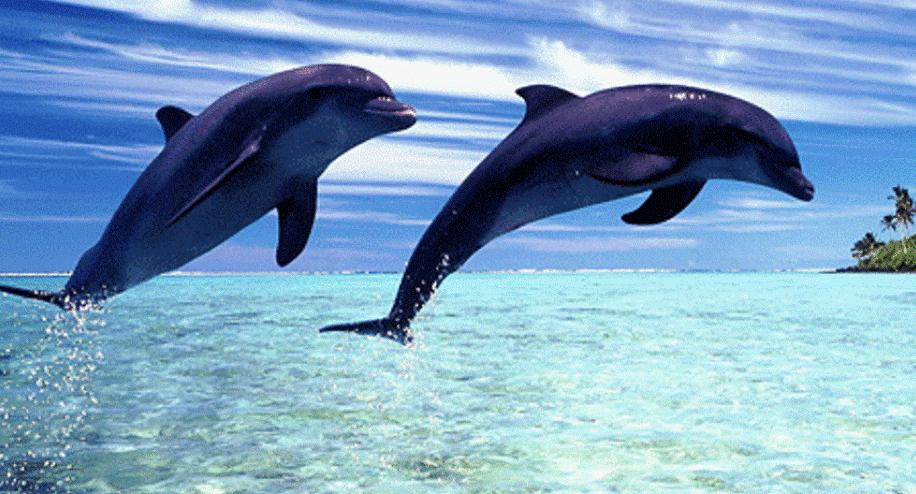 Dolphin in Lovina Beach BulelengBali