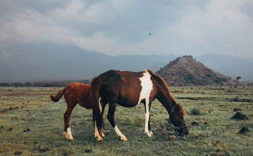 Savana Tianyar Karangasem Bali horse