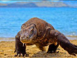 Nature tour guide bitten by Komodo dragon in East Nusa Tenggara