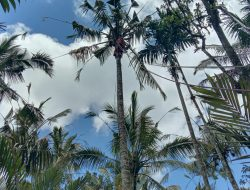 Man found dead on top of coconut tree in Bali